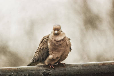 Dove Photograph - Mourning Dove by Susan Capuano