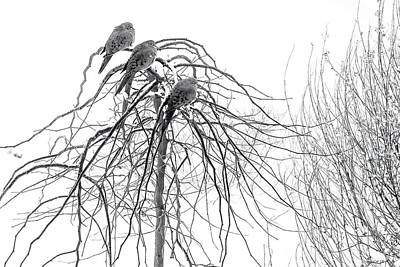 Ice On Branch Photograph - Mourning Doves Perch On The Branches by Al Petteway and Amy White
