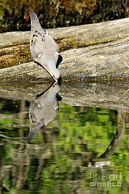 Photograph - Mourning Reflection by Larry Ricker