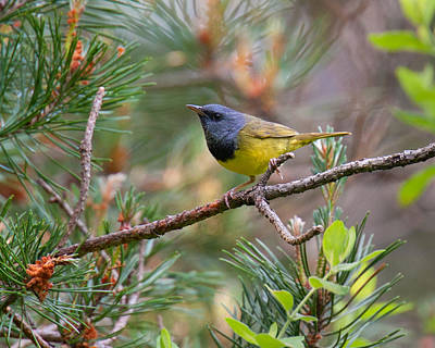 Photograph - Mourning Warbler At The Meadows by Timothy McIntyre