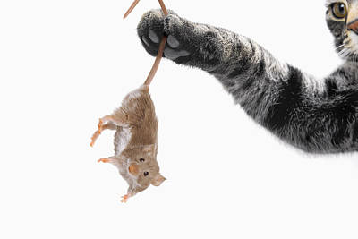 Mouse Dangling From Grey Tabby Cats Art Print by Thomas Kitchin & Victoria Hurst