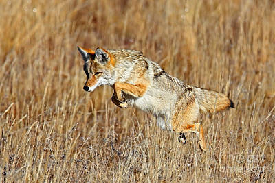 Photograph - Mousing Coyote by Bill Singleton