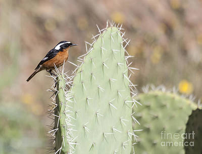 Photograph - Moussier's Redstart by Liz Leyden