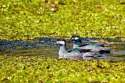 Mr And Mrs Green Pygmy Goose Art Print by Mr Bennett Kent