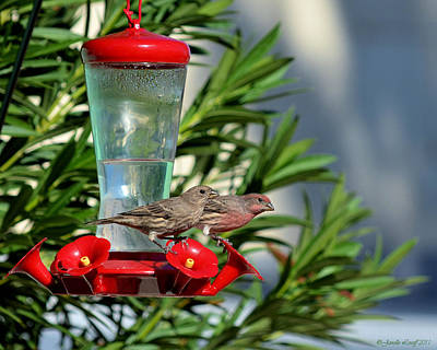 Mr. And Mrs. House Finch Original