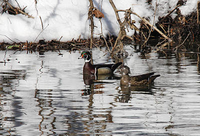 Photograph - Mr. And Mrs. Wood Duck by Jill Bell