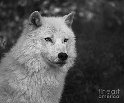 Arctic Wolf Photograph - Mr. Arctic Wolf.. by Nina Stavlund