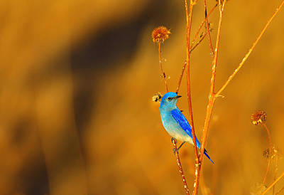 Photograph - Mr. Blue by Kadek Susanto