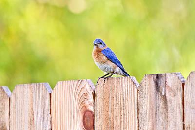 South Louisiana Photograph - Mr. Bluebird by Scott Pellegrin