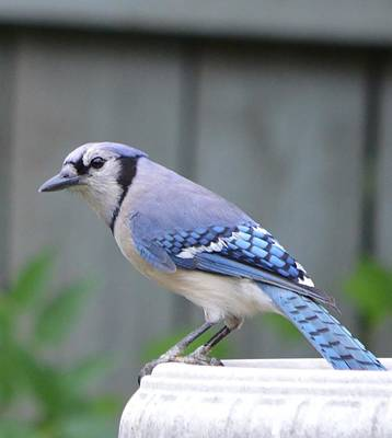 Photograph - Mr. Bluejay by Stefon Marc Brown