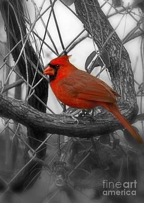 Photograph - Mr Cardinal -card by Sandra Clark