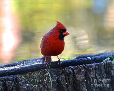 Photograph - Mr Cardinal by Carol  Bradley