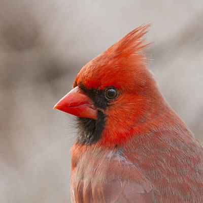 Mr Cardinal Portrait Art Print by Mircea Costina Photography