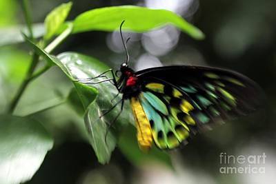 Photograph - Mr. Cairns Birdwing by Mary Lou Chmura