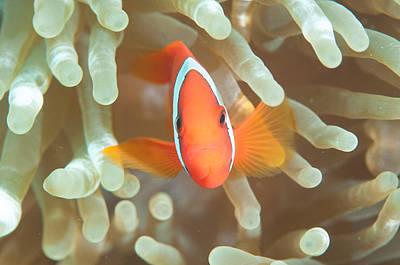 Clown Fish Photograph - Mr. Clown Fish by Jill Jermann