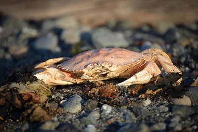 Photograph - Mr. Crab In The Setting Sun by Ronda Broatch