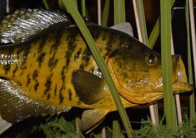 Photograph - Mr Fish 1 by Douglas Barnett