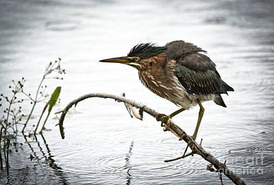 Fall Leaves Photograph - Mr. Green Heron by Cheryl Baxter