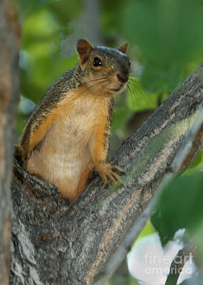 Fox Squirrel Photograph - Mr.  Inquisitive  by Robert Bales