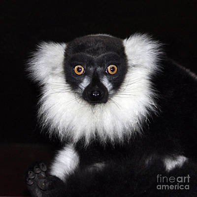 Art Print featuring the photograph Mr Lemur by Terri Waters