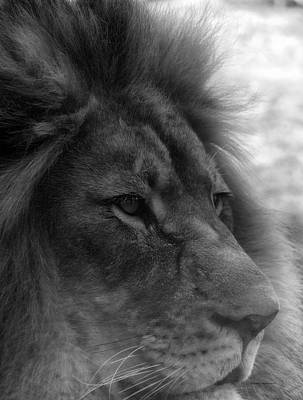 By Thomas Woolworth Photograph - Mr Lion Black And White Profile by Thomas Woolworth