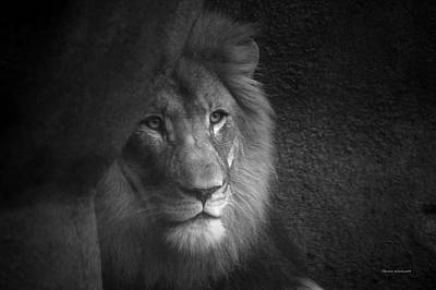 Photograph - Mr Lion In Black And White by Thomas Woolworth