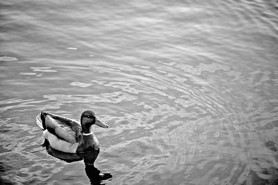 Photograph - Mr. Mallard by Marianne Campolongo