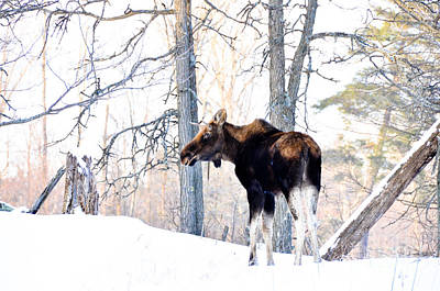 Photograph - Mr. Moose by Cheryl Baxter