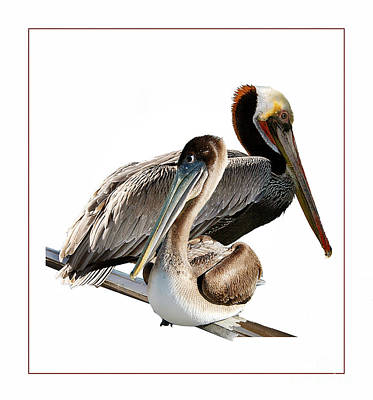 Photograph - Mr Mrs Pelican by Tom Griffithe