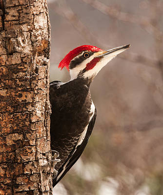 Pileated Woodpecker Photograph - Mr. Pileated by Lara Ellis