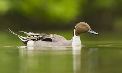 Colourfull Photograph - Mr Pintail  by Mircea Costina Photography