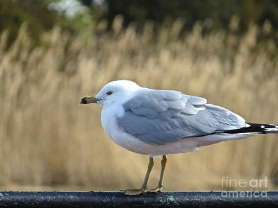 Photograph - Mr Seagull  by Nancy Patterson