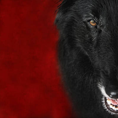 Sheepdog Photograph - Belgian Shepherd Art 1 by Wolf Shadow  Photography