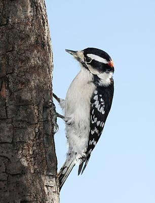 Downy Woodpecker Photograph - Mr. Woody 2 by Lara Ellis