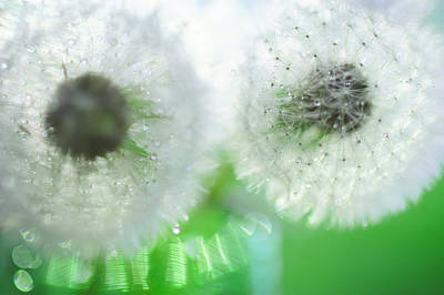Photograph - Mrs. And  Mr. Dandelion by Jenny Rainbow