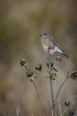 Photograph - Mrs Bluebird by Bradley Clay