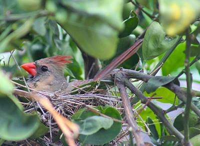Tropical Photograph - Mrs. Cardinal  by Kimberly Reeves