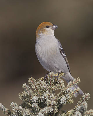 Photograph - Mrs Pine Grosbeak by Gerry Sibell