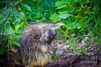 Photograph - Mrs. Porcupine  by Chris Heitstuman