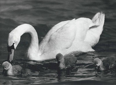 Mrs, Swan And Her Kids Enjoy Spring - Sun Art Print by Retro Images Archive