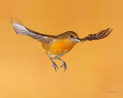 Photograph - Ms B Oriole by Gerry Sibell