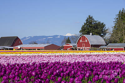 Photograph - Mt Baker Tulip Town by Louise Magno