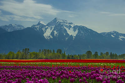 Photograph - Mt Cheam Tulips by Louise Magno
