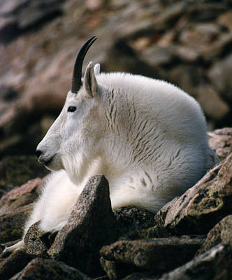 Photograph - Mt Evans Mountian Goat by Robert Lozen