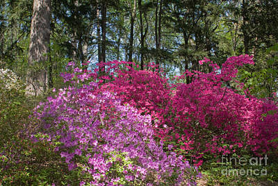 Photograph - Mt Hamilton Azaleas 1 by Chris Scroggins