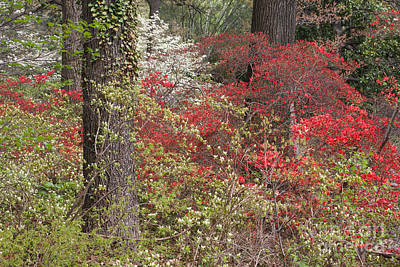 Photograph - Mt Hamilton Azaleas 2 by Chris Scroggins