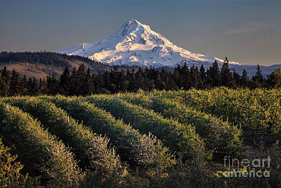 Photograph - Mt. Hood And Orchard by Stuart Gordon