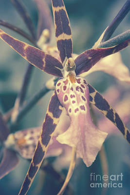 Photograph - Mtssa. Shelob Tolkien - Orchids - Mericlone  by Sharon Mau