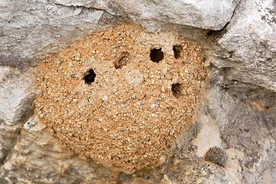 Greek Insects Photograph - Mud Bee Nest by Bob Gibbons