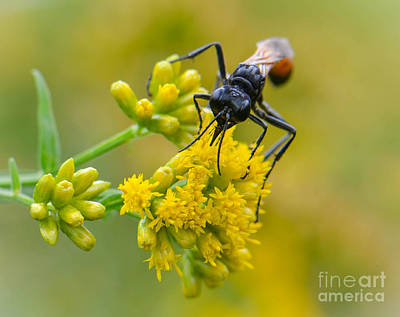 Photograph - Mud Dauber by Amy Porter